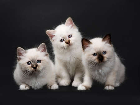 Three Sacred Birman kittens isolated on black background looking at camera