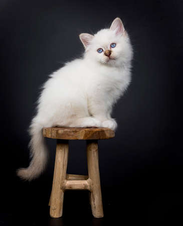 Sacred Birman kitten sitting on a wooden chair, isolated on black background