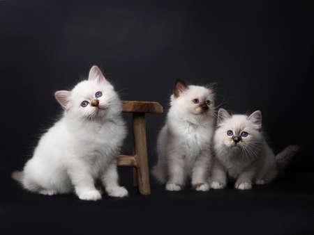 Drie Sacred Birman kittens spelen met een houten stoel geïsoleerd op zwarte achtergrond Stockfoto