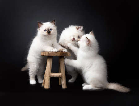 Three Sacred Birman kittens playing with a wooden chair isolated on black background