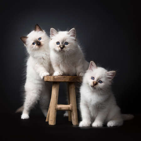 Three Sacred Birman kittens on and around a wooden chair isolated on black background facing the camera