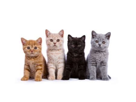 Row of four British Shorthair cats  kittens sitting on white background facing camera Фото со стока