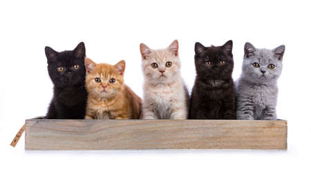 Row of five British Shorthair cats  kittens sitting on a wooden tray isolated on white background  looking at camera Stockfoto