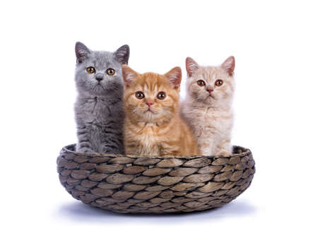 Three British Shorthair kittens sitting in basket isolated on white background  facing camera Stockfoto