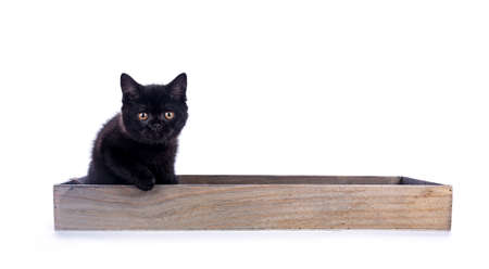 Black British Shorthair cat  kitten sitting in wooden tray looking at camera Stockfoto