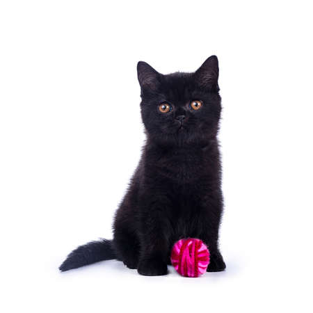 Black British Shorthair cat  kitten sitting isolated on white background with bright pink ball of wool