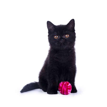 Zwarte Britse korthaar kat  kitten zitten geïsoleerd op witte achtergrond met fel roze bal van wol Stockfoto