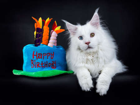 White odd eyed maine coon cat laying isolated on black background with plush birthday cake Stockfoto
