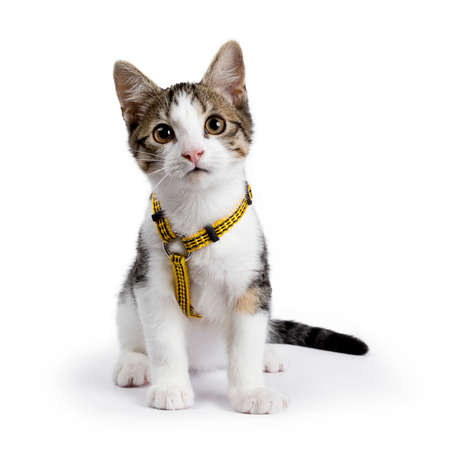 European shorthair kitten / cat sitting on white background wearing yellow harness Banque d'images