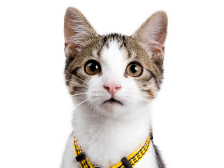 Head shot of European shorthair kitten  cat on white background wearing yellow harness and looking in the camera
