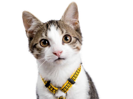 Head shot of European shorthair kitten  cat on white background wearing yellow harness and looking in the camerar Stockfoto