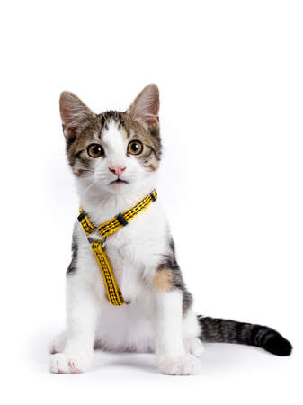 European shorthair kitten  cat sitting on white background wearing yellow harness Stockfoto