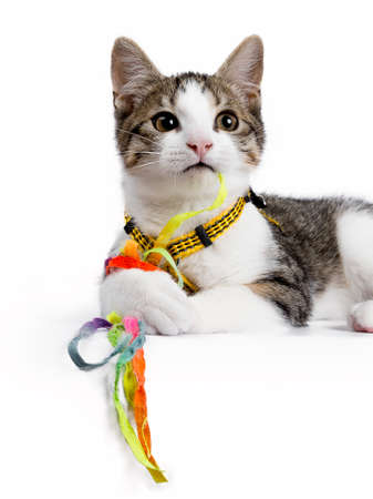 European shorthair kitten  cat laying on white background playing with colorful strings  toy Stockfoto