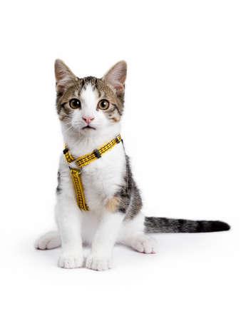 Europese korthaar katje  kattenzitting op witte achtergrond dragen gele harnas en kijken recht in de camera Stockfoto