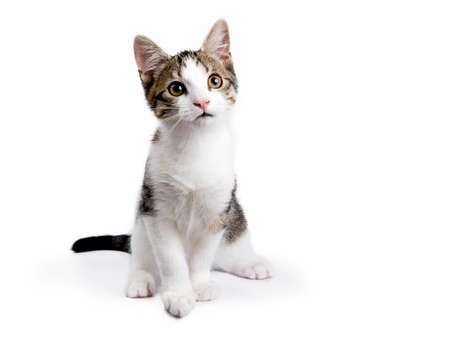 European shorthair kitten  cat sitting on white background looking up