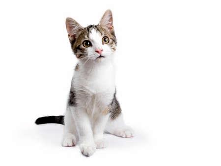 Europese korthaar katje  katten zitten op witte achtergrond kijken
