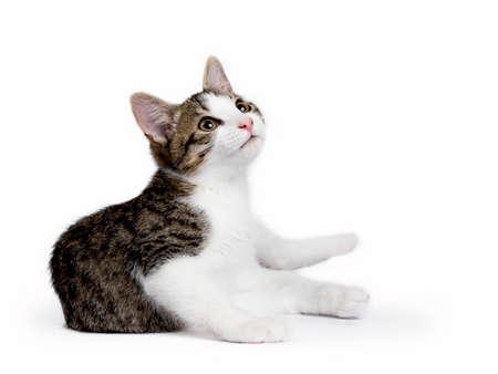 Europese korthaar katje  kat op een witte achtergrond opzoeken