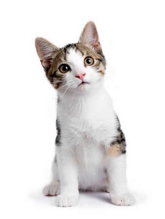 Europese korthaar katje  katten zitten op een witte achtergrond en kijken naar de camera