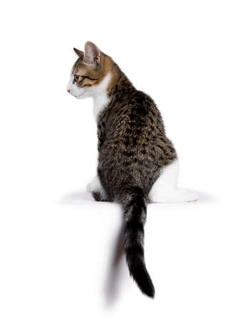 European shorthair kitten  cat sitting on white background with tail hanging down and looking to the side