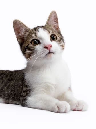 European shorthair kitten  cat on white background looking up