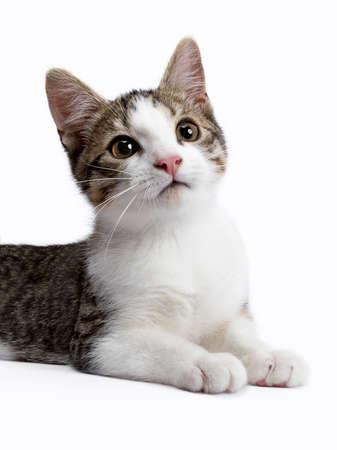 Europese korthaar katje  kat op witte achtergrond kijken