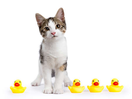 European shorthair kitten  cat standing on white background with yellow rubber ducks looking straight in the camera