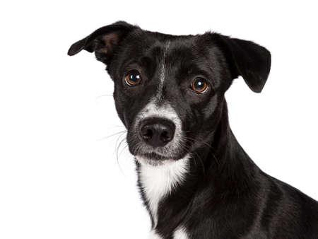 Hoofd schot van zwart-wit verdwaalde hond ?? geïsoleerd op een witte achtergrond