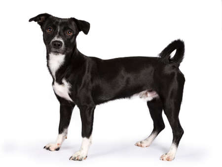 Black and white stray dog ??standing side ways isolated on white background