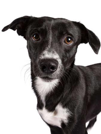 Wide angle head shot van zwart-wit verdwaalde hond ?? geïsoleerd op een witte achtergrond Stockfoto