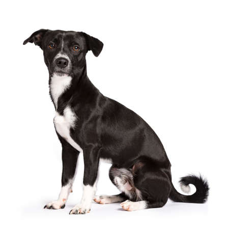 Black and white stray dog ??sitting side ways isolated on white background