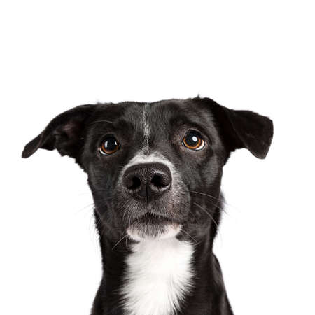 Head shot of black and white stray dog ??isolated on white background