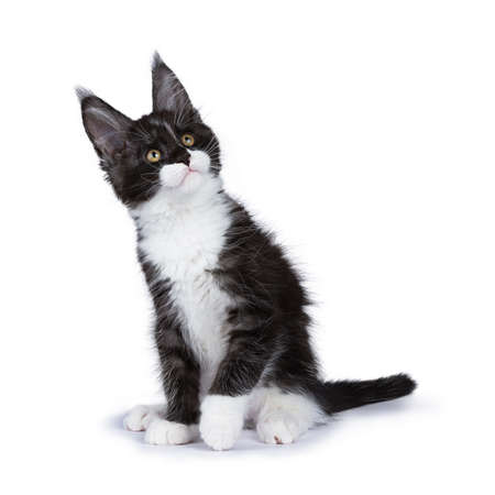 Black smoke Maine Coon kitten sitting with title head looking up isolated on white background