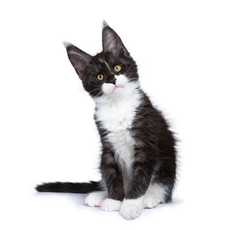 Black smoke Maine Coon kitten sitting with title head looking at camera isolated on white background Stockfoto