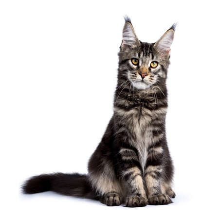 Black tabby maine coon cat kitten sitting up front front isolated on white background Stockfoto