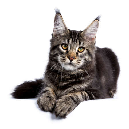 Black tabby maine coon cat kitten laying front front isolated on white background Stockfoto