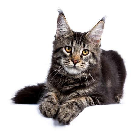 Zwart gestreepte katmaine coon kattenkatje dat voorvoorzijde legt die op witte achtergrond wordt geïsoleerd