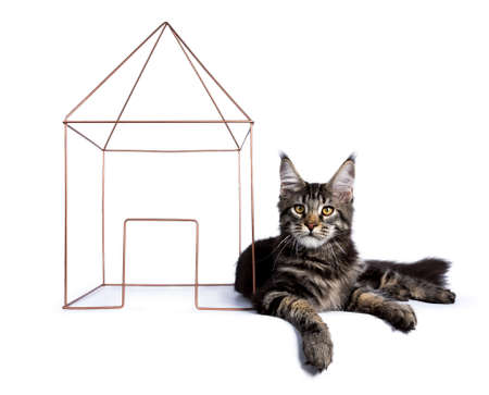 Black tabby maine coon cat kitten laying with a wire house isolated on white background