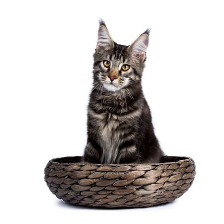 Zwarte gestreepte kat Maine Coon kat kitten zittend in een mand geïsoleerd op een witte achtergrond