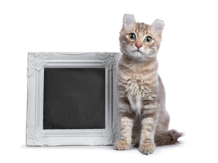 Lilac blotched tabby American Curl cat  kitten sitting next to a white photo frame filled with writable blackboard isolated on white background