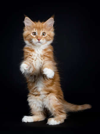Dancing red tabby with white coon cat / kitten standing on back paws like meerkat looking into the lens isolated on black background