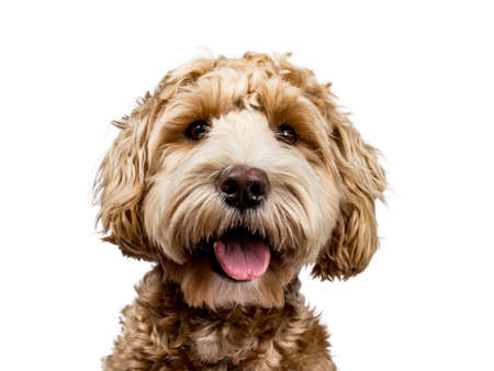 Head shot of golden labradoodle with open mouth and looking straight at camera isolated on white background