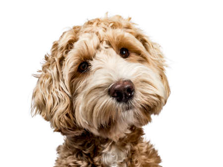 Head shot of golden labradoodle with closed mouth, tilted head and looking straight at camera isolated on white background Stockfoto