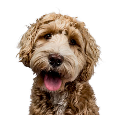 Head shot of golden Labradoodle with open mouth, looking straight at camera isolated on white background Stockfoto