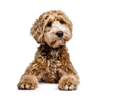 Golden Labradoodle laying down with closed mouth and sideways isolated on white background