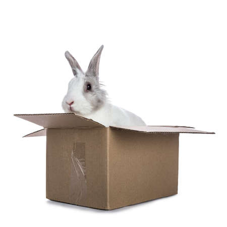 Cute white with gray shorthair bunny sitting in carton box isolated on white background facing camera