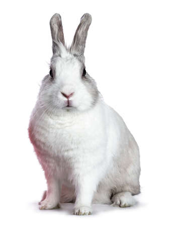 Cute white with gray shorthair bunny sitting on the side isolated on white background looking at camera