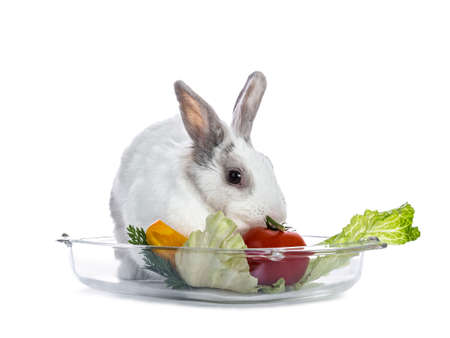 Cute white with gray shorthair bunny laying in glass tray with lettuce and tomato isolated on white background facing camera