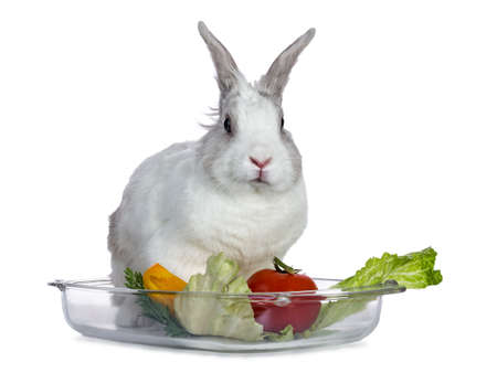 Cute white with gray shorthair bunny sitting on glass tray with lettuce and tomato on white background facing camera