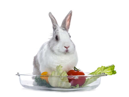 Cute white with gray shorthair bunny sitting on glass tray with lettuce and tomato isolated on white background facing camera