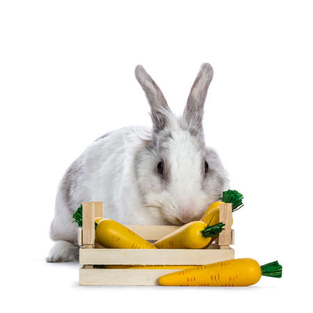 Cute white with gray shorthair bunny sitting  laying behind wooden box with fake carrots isolated on white background facing camera